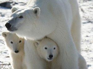 Alertan sobre aumento del canibalismo entre los osos polares