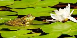 Zoológico peruano presenta ranas gigantes amenazadas nacidas en cautiverio