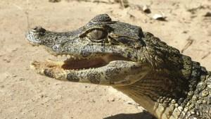 Encontró a un cocodrilo en el baño de su casa cuando iba a usarlo en la noche (VIDEO)