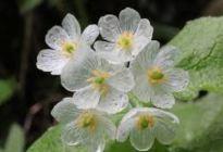 ¡FABULOSO! Las llamadas flores esqueleto se vuelven transparentes con la lluvia (Fotos y video)