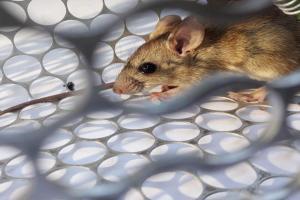 El hantavirus no es otra nueva epidemia que viene de China