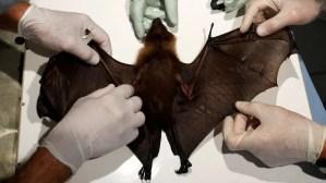 ¿Por qué los murciélagos tienen tantos virus?