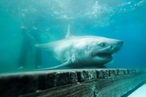 Grandes tiburones blancos acechan en las playas del área de Nueva York