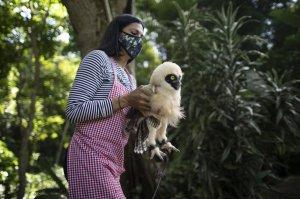 AP: Venezolanos cuidan animales heridos que se acercaron a las urbes durante la pandemia
