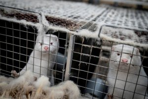 Alerta en Dinamarca: Visones con Covid-19 habrían escapado de granjas y esparcido la enfermedad