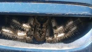 ¡Susto! Descubrió una enorme araña en la puerta de su auto (Fotos)