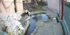 Así fue la INCREÍBLE reacción de un panda en Moscú tras ver una piscina congelada (VIDEO)