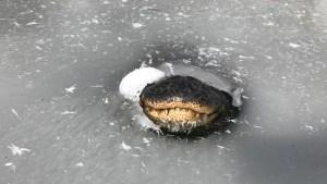 La increíble manera cómo se adaptan los caimanes en los pantanos congelados en EEUU (VIDEO)