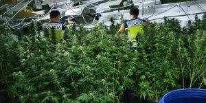 La Guardia Civil de España desmantela la mayor plantación de marihuana en Europa
